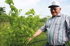 "<div class=""source"">Donna Carman</div><div class=""image-desc"">Larry Yaden shows some of the grapes growing on his three acres of grape vines. Yaden will pull these grapes off and throw them away as the vines are still another year away from the first harvest.